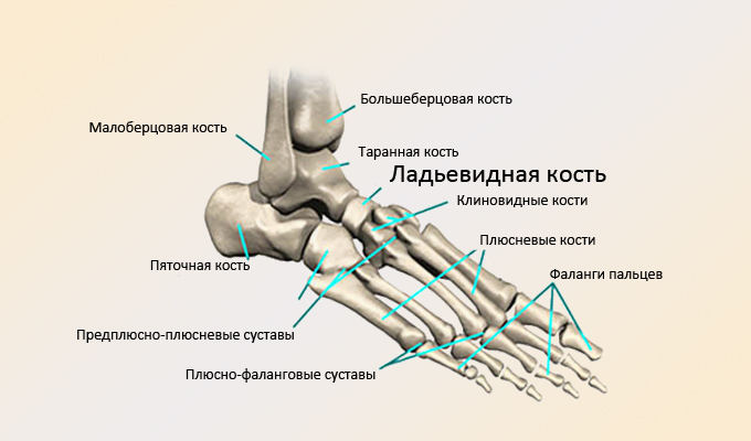 Ладьевидная кость стопы: перелом, остеохондропатия, боли