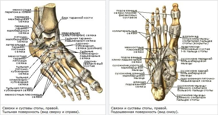 Суставы ступни спорыш при заболивании суставов