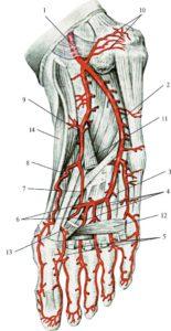Артерии стопы