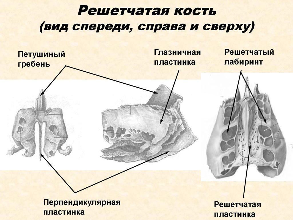 Решетчатая кость в трех проекциях