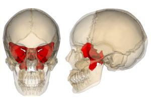 Схема расположения решетчатой кости в черепе