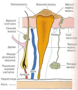 Строение корневой мозоли