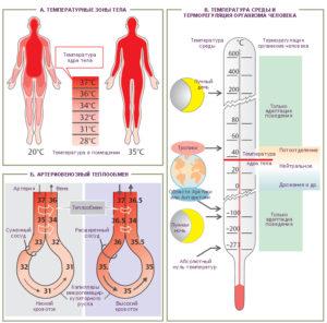 Схема управления температурой тела человека