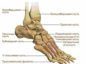 Схема строения костей ступни