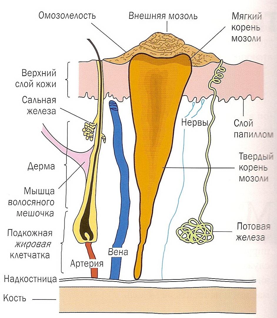 Сухая мозоль на пальце ноги со стержнем, лечение народными средствами