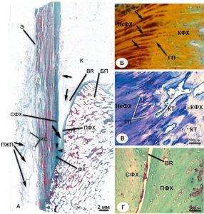 Клеточное строение ахилловых связок
