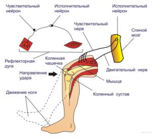 Рефлекторная дуга коленного сустава