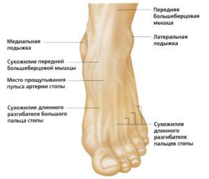 Анатомия щиколотки человека