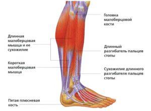 Строение и расположение голени человека мышцы болезни и лечение