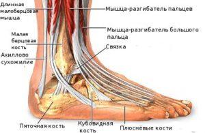 Анатомическое строение щиколотки
