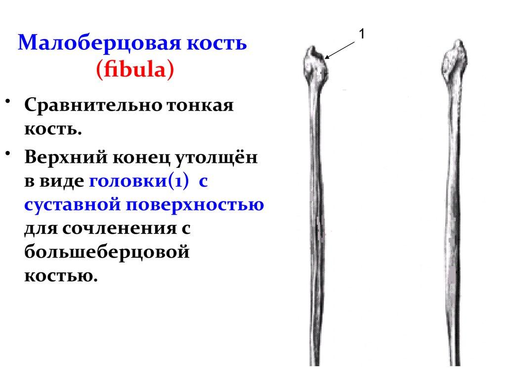 Малоберцовая кость: анатомия и строение, её головки, боли и лечение