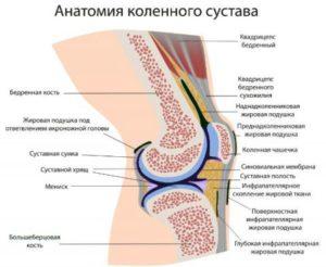 Анатомическое строение колена