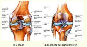 Анатомичсекое строение коленного сустава