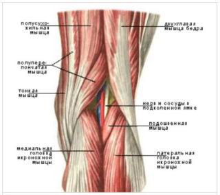 Как называется внутренняя сторона колена. Как называется место под коленкой сзади: анатомия, возможные патологии