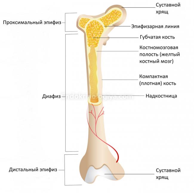 яндекс здоровые суставы плеч
