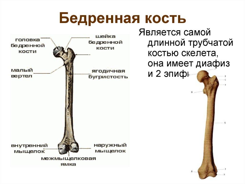 Сустав соединяющий бедренную берцовую кости лечение суставов артрофооном