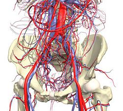 Внутренняя подвздошная артерия и ее ветви