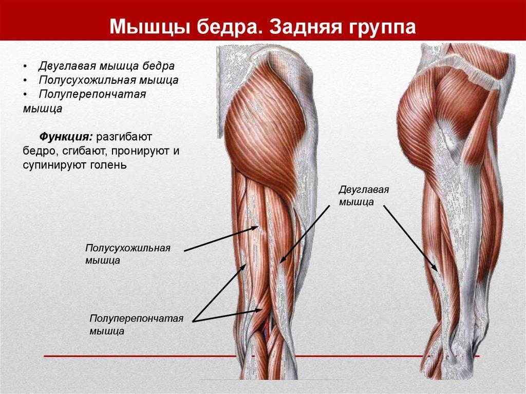 Разгибание в коленном суставе осуществляют следующие мышцы разрывы менисков коленного сустава