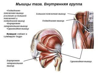Мышцы таза и бедра анатомия