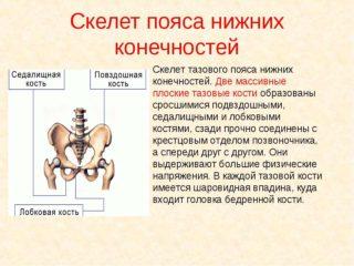 Тазобедренная кость и кости таза анатомия, причины боли у женщин и мужчин