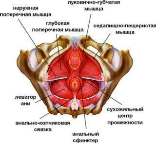 Мышцы промежности у женщин