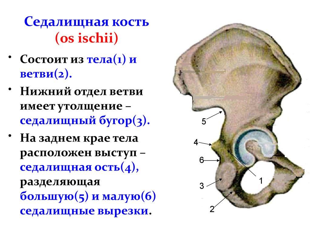 Картинки седалищная кость