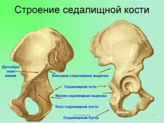 Седалищная кость: где находится, каким травмам подвержена и из-за чего болит. Как устроена седалищная кость