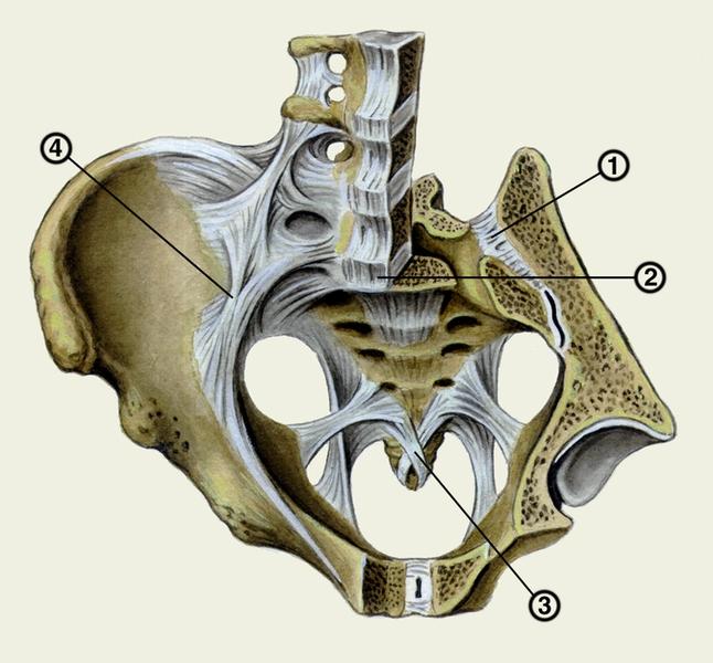 Крестцово подвздошный сустав анатомия