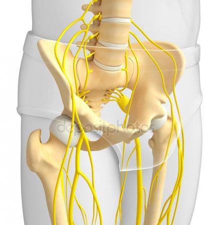 Срамной нерв анатомия
