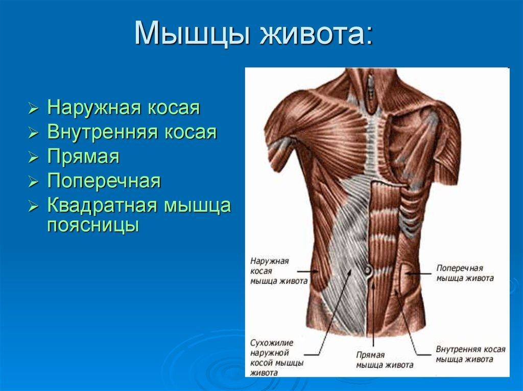 хотите сделать мышцы живота анатомия фото лепешка пита