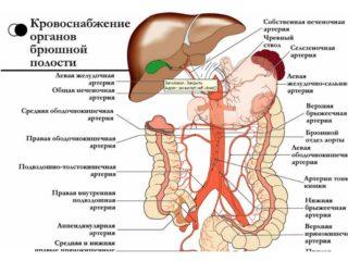 Строение брюшной полости у мужчин