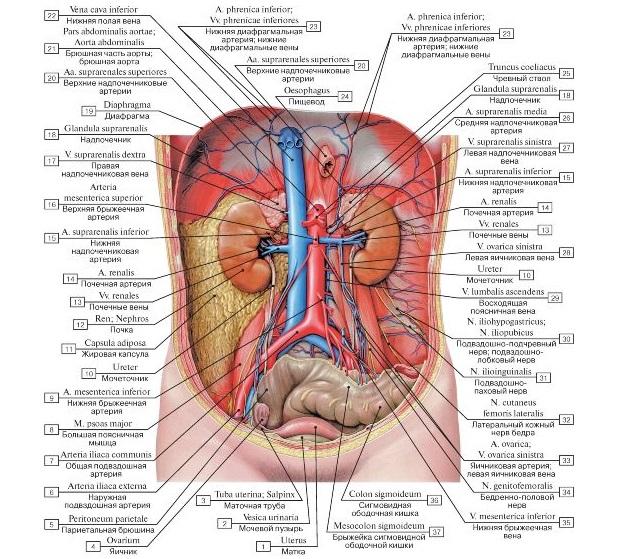 Органы человека расположение в картинках с надписями с левой стороны внизу