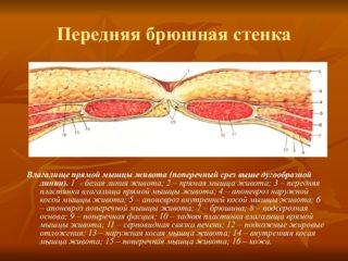 Какой орган находится в районе пупка