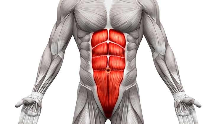 Мышцы живота расположение функции