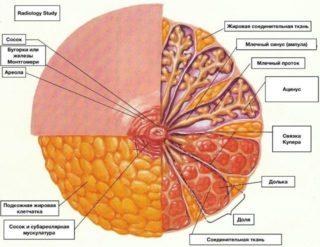 Форма сосков женской груди. Виды женской груди