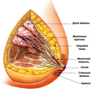 Что такое железистая ткань молочной железы
