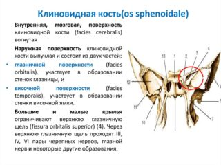 Строение грудной клетки человека внутренние органы